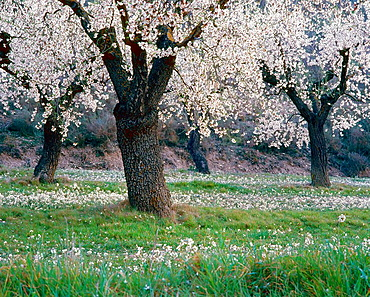 Almond trees, Lleida, Catalonia, Spain