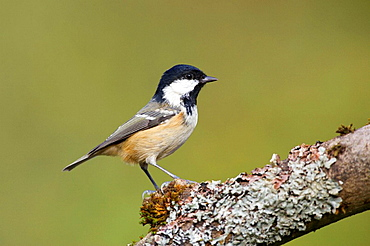 Coal Tit, Parus ater, perched on a lichen covered branch