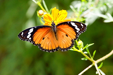 African monarch on flower, Malawi, southern Africa