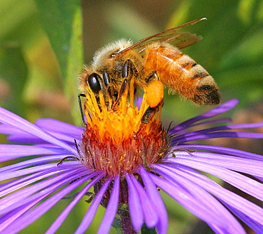 Honeybee, Apis mellifera, Hymenoptera, Apidae, Michigan, USA