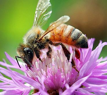 Honeybee, Apis mellifera, collecting nectar on purple flower