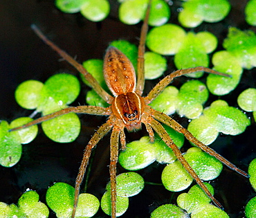 Six-spotted fishing spider, Dolomedes numitor, on duckweed in aquatic habitat
