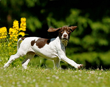 Dog running, Old Danish Bird Dog