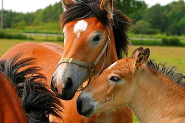 Swedish Ardennes horses, Gotland, Sweden