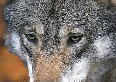 Wolf, Halsingland, Sweden