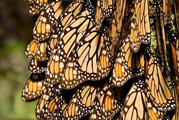 Monarch Butterflies (Danaus plexippus), Sierra Chincua Monarch butterfly sanctuary, Michoacan, Mexico.