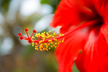 Bright red hibiscus on close-up, Mauritius.