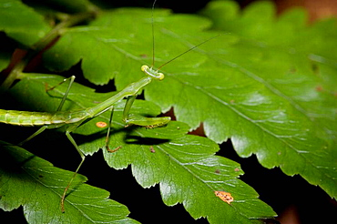 Praying mantis, order Mantodea  Photographed in the mountains of Costa Rica