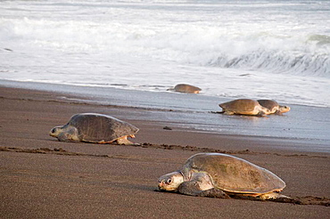 Group of female olive ridley sea turtles, Lepidochelys olivacea, climbing onto land to lay eggs, photographed in Costa Rica