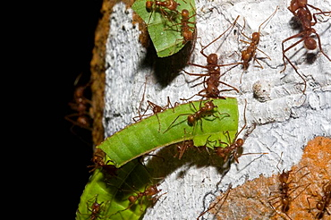Leaf-cutter ants, order Hymenoptera, family Formicidae, carrying leaf fragments back to their nest  The small ant riding on the leaf is called a Minim, which protects the worker carrying the leaf from aerial attacks of parasitic flies of the family P