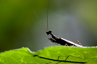 Tropical praying mantis, order Mantodea  Photographed in Costa Rica
