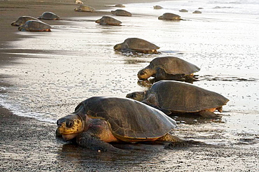 Group of female olive ridley sea turtles, Lepidochelys olivacea, climbing onto land to lay eggs, photographed in Costa Rica - 817-206903