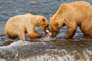 Grizzly Bear mom and her cub with a fresh catch of salmon in Katmai National Park, Alaska, USA