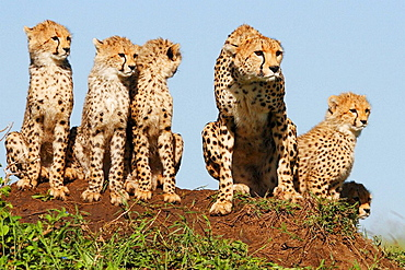 Mother cheetah and cubs on a termite mound in the Masai Mara, Kenya