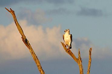 A juevenile martial eagle perched in a tree above the Mara river, Kenya