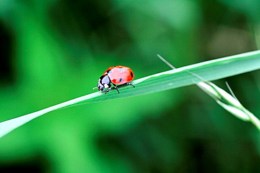 Seven Spot Ladybeetle Coccinella septempunctata on a blade of grass  It has a white collar and two white spots on head