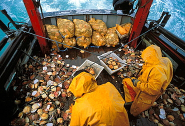 Scallops fishing, Bay of Saint-Brieuc, Cotes-dArmor, Bretagne, France