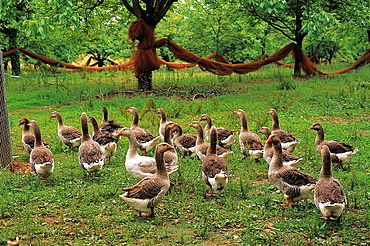 Geese, Collonges-la-Rouge, Correze, Limousin, France