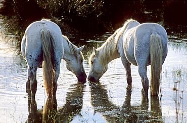 Camargue horses near Saintes-Maries-de-la-Mer, Camargue, France