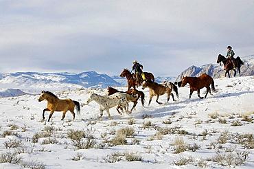 Cowboys herding horses in winter, Shell, Wyoming, Usa