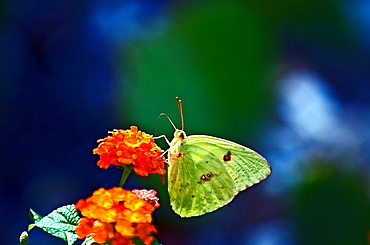 Cloudless Sulfur Butterfly on Lantana