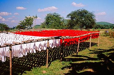 Muga silk being dried up, Assam, India