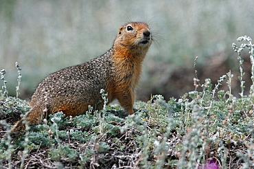 Arktisches Erdhornchen / Artic Ground Squirrel / Citellus undulatus / Kluane-Nationalpark, Kluane National Park and Reserve, Kanada, Canada, USA