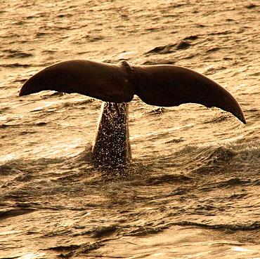 Sperm whale (Physeter macrocephalus), Lofoten, Norway