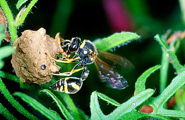 Mason Wasp (Eumenes sp.) Making its nest