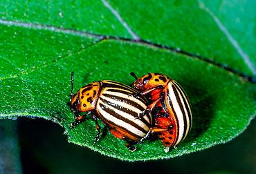 Colorado Potato Beetle (Leptinotarsa decemlineata) mating, insect pest