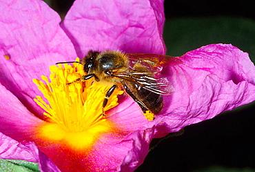 Honeybee (Apis mellifera) worker collecting nectar on flower