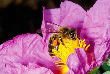 Honeybee (Apis mellifera) Collecting nectar on flower