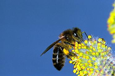 Honeybee (Apis mellifera)