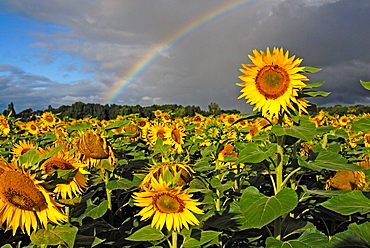 Rainbow in a sunflower field in Southern France, Europe