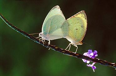 Butterflies mating, Bangalore, India