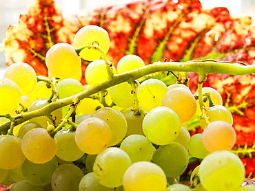 Ripening white Riesling grapes on the vine  Grape Leaves in Autumn colors as their background  Close up  Horizontal  Silo