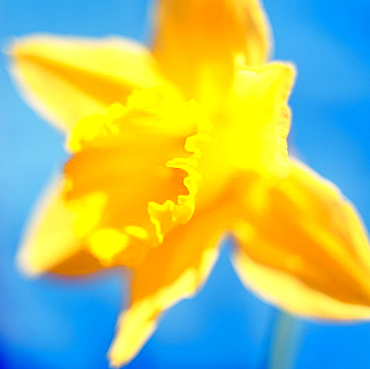 beautiful spring daffodil, the epitome of spring - fine art photography © Jane-Ann Butler Photography JABP290 RIGHTS MANAGED