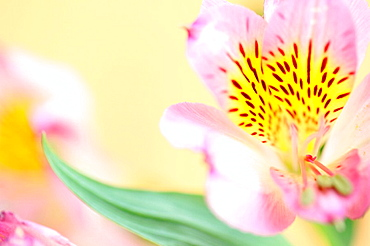 Delicate Pink Alstroemeria-fine art photography © Jane-Ann Butler Photography JABP364 RIGHTS MANAGED