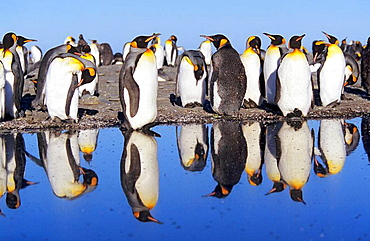 King Penguin Aptenodytes patagonica group with reflection on tidal pool on beach, St  Andrews Bay, Island of South Georgia, November 2003