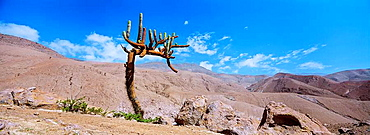 Candleholder cactus Browningia candelabris in the mountain desert of the chilean Precordillera, sometimes part of the Atacama desert  This cactus is growing extremely slow  Precipuitation as rain is completely lacking  Moisture in the form of fog is