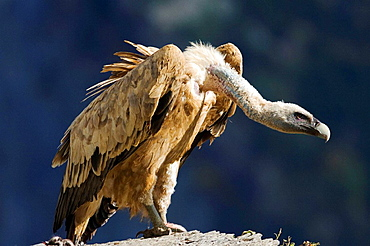 Griffon vulture, Gyps fulvus  Ordesa y monte perdido national park, Huesca province, Aragon, spanish pyrenees