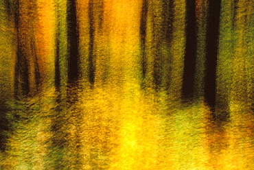 Abstract, Maple Trees in Autumn, Gatineau Park, Quebec, Canada