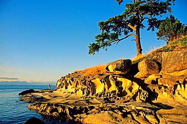 Sandstone formations and Rocky Mountain Juniper (Juniperus scopulorium), Dionisio Provincial Park, Galiano Island, British Columbia, Canada
