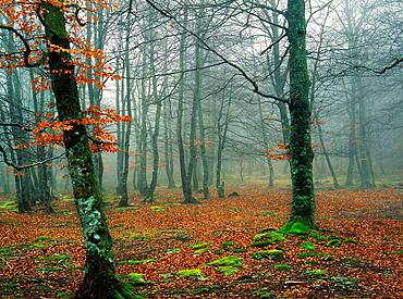 Beech forest in autumn, Santiago Mount Natural Park, Burgos, Castilla-Leon, Spain