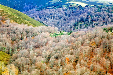 Beech forest (Fagus sylvatica) in autumn, Cabuerniga valley, Saja-Besaya Natural Park, Cantabria, Spain