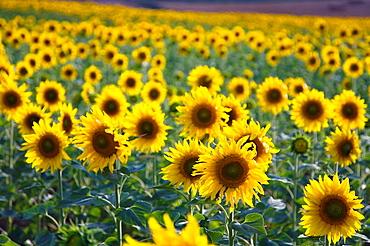 Sunflowers plantation Helianthus annuus Navarre, Spain