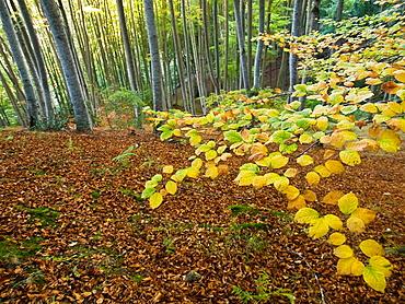Beech in autumn in Ezcaray - Sierra de la Demanda - La Rioja - Spain