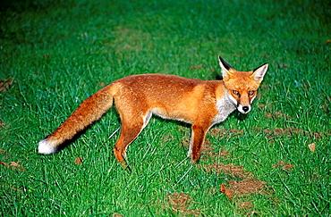Fox standing in grass, Wiltshire, England