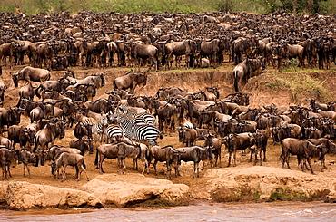 White-bearded gnus or Blue wildebeest (Connochaetes taurinus) and Burchell's Zebras or Plains Zebras (Equus burchellii) crossing the Mara river, Masai Mara National Park, Kenya, East Africa