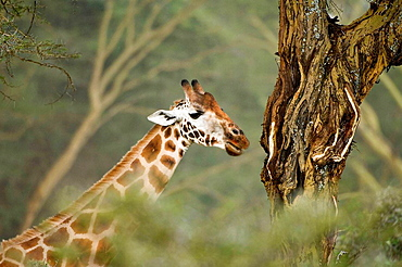 Rotschild or Baringo or Uganda Giraffe in the savannah, Giraffa camelopardalis rothschildi, Lake Nakuru National Park, Kenya, East Africa